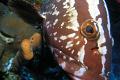 LOretta the friendly Grouper