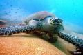 Huge Turtle at Koh Kroc an island just off Pattaya