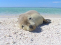 How Cute ;) Abrolhos Islands