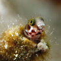 A very curious blenny. Canon XSi with EF-100mm USM macro lens in Ikelite housing, dual DS-125 strobes.