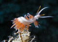 Are you looking at me?  (Aeolidacea, nudibranch, hydroid)