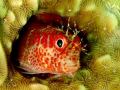 Fringed blenny