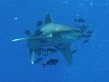 Oceanic white tip, Deadelus reef