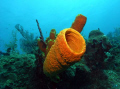 Tube Sponge @ Mona Island Puerto Rico