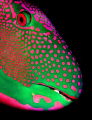 Parrotfish portrait, taken at night in the Maldives