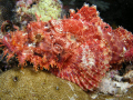 Beautifull but deadly stonefish waiting in camo to ambush it's prey. came upon this fish at 65ft on a wall in Ulong Chanell in Palau,Micronesia.
