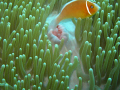 Beautifull Anemone and host fish. What a great place Palau is and I can't wait to return.