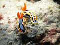 2 beautifull Nudibranchs in Yap Micronesia.Some of the Nudibranchs were more colorfull than the fish.Always the best subjects for posing for pictures.