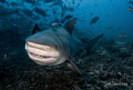 Fish are friends!!!  This heavily pregnant female bull shark is having a final feed before heading up the river to give birth. Shot in Beqa Passage, Fiji on 18 November 09.  Nikon D90 twin Z240 strobes with Nikon 10-24 lens.