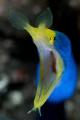A blue ribbon eel at Coral Gardens in Tulamben, Bali.