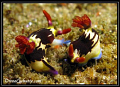 Off the coast of Inhambane these two nudibranchs seems to to be enjoying the tropical waters immensely :-)