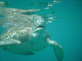Green Turtles off Coast of Barbados