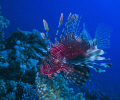 Lion fish siwming by