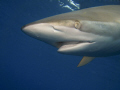 Silky shark coming from above