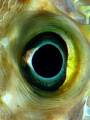 eye off the yellowspotted burrfish. (cropped and some saturation)