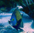 pomacanthus PARU (angelfish) , no strobes only natural light