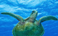 This green turtle we saw swimming in the distance so we swam over to it and followed it for about ten minutes so managed to get a few pics of our happy traveller.