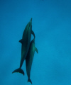 snorkeling with dolfins