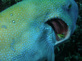 Cleaner fish at work on the gills of a large pufferfish