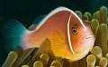 clown fish, shot with d200/subal housing twin inons 60mm lens f16 @1/250th