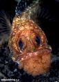 Egg Cup (Opistognathus latitabundus) Blotched Jawfish with eggs