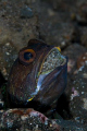 A jawfish with eggs in Tulamben, Bali.