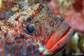 Red-mouthed Goby - Gobius cruentatus - Sesimbra/Portugal - Nikkor 105mm, 1/60s, f/18, ISO 200.
