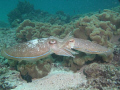 Cattle Fish - mating