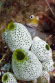 Blenny poses for me