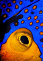 Golden Blenny.  Picture is actually a cropped eye of the Blue faced Emperor Angel Fish, afterwards it was rotated to produce the Goby like image