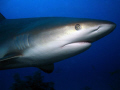 Grey reef shark with a mad look on his face