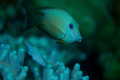 Triggerfish amidst soft coral; Nikon D2X, Aquatica Housing, one Inon Z-240 strobe, Nikkor 35-80mm lens.