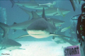 Black Tip Reef Shark...Shark Arena