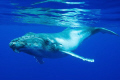 Humpback whale calf, in Niue island, South Pacific.