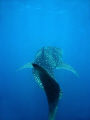 A large whaleshark swimming off ningaloo