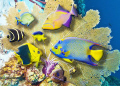 3D composite of fish from various locations in the Caribbean.  Juvenile french angel, rock beauty, surgeon fish; queen trigger; queen angel; juvenile trunk fish; goldentail moray; juvenile longfin damselfish