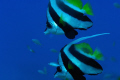 Two bannerfish float peacefully in the South Pacific blue waters off Fiji; Nikon D2X, 105mm micro-Nikkor, two Inon Z-240 strobes, Aquatica housing