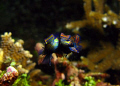 Finally.... A picture of mating Mandarin fish. Taken on a Canon G9