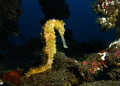 A thorny sea horse. Taken on a Canon G9