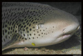 What can you do, when you have the marco lense and face a leopard shark right in from ot you??? Make a Marco!!!