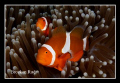 Anemoonfish
