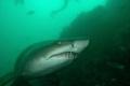 Raggie shark, Port Elizabeth South Africa, December.D70,Nikkor 10,5mm,SB800