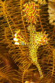 Ornate Ghost Pipefish in its native surroundings