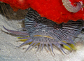 Splendid Toadfish, only found around the island of Cozumel, Mexico.  I got this photo when I did a shore excursion from our cruise ship.  Now I can check this rare beauty off my bucket list!