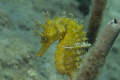 cavalluccio giallo