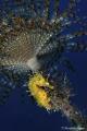 Shadow of a Spirographis spallanzani I found this glittering Hippocampus guttulatus. Deep 18m, Nikon D700, Hugyfot housing, Nikon AFS 105mm f2,8 VR, SB800 housing Foto Leone, Subtronic Alpha Pro