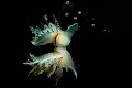 NIGHT REFLECTION - Fimbria Tethys Fimbria the Biggest Mediterrean Sea Nudibranch. Night Dive in Reggio di Calabria.