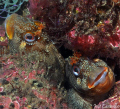 Blennies - Sesimbra - Baa da Armao / Feb 6th - 