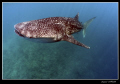 Whale shark ... dedicated specially for my friend Mitch :-D