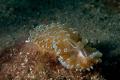 Nudibranco / fotografato ad una profondità di 14 metri d300s con una Nikon ob. Nikon 60 macro in custodia Subal.